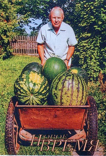 Самые большие арбузы Владимир Николаевич выращивает в открытом грунте. Рекордный арбуз – 11,5 кг.